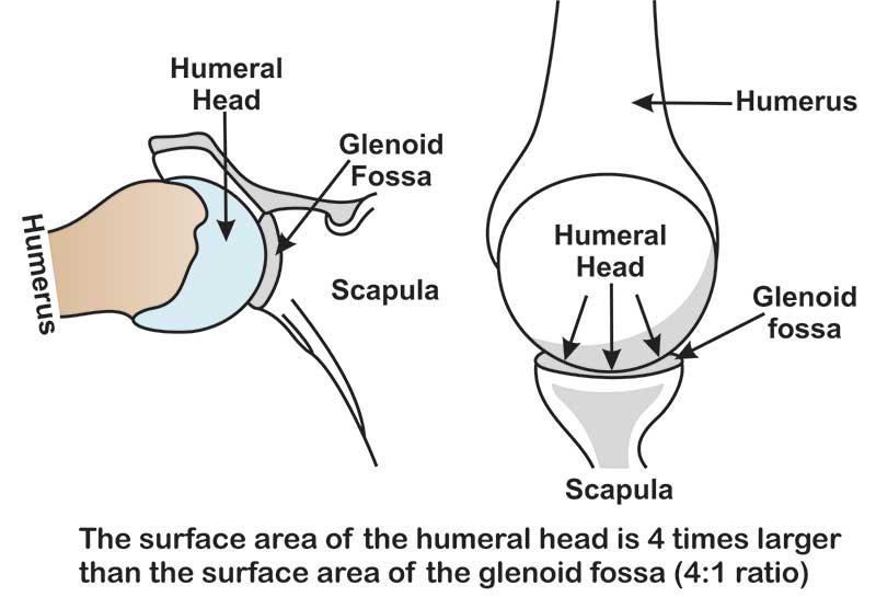 humeral-head-4 times-larger-than-the-glenoid fossa